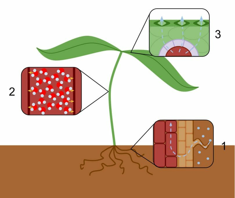 In transpiration, water enters the plant through the roots (1), moves up the xylem (2), and then exits through stomatal pores (3).