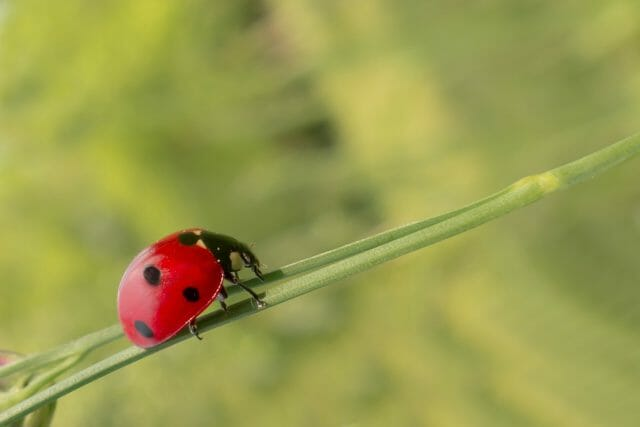 Cannabis integrated pest management strategies can include lady bugs for a natural approach to pest management.