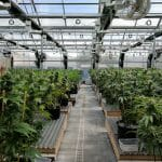 How to Set Up Your Cannabis Greenhouse